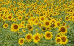Sunflower seeds may cause toxic mold