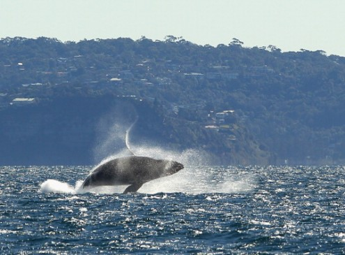Scientists Uncover Mystery Of Whales Growing In Large Sizes [VIDEO]
