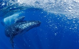 whale with calf
