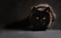 A black cat halted the Cowboy-Giants football game.