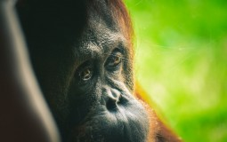 Palm oil leads to Death of Orangutans
