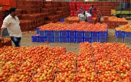 Hundreds of Boxes of Tomatoes in the Market